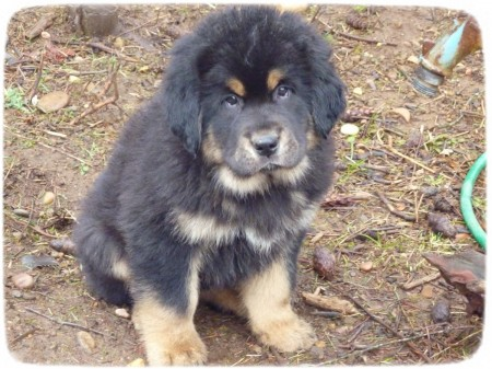 Tibetan Mastiff Puppy Pictures