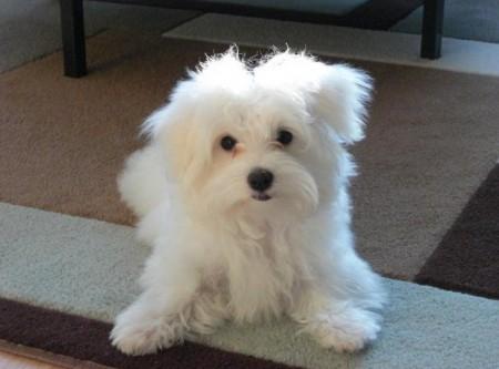 Tiny Dog Breeds List