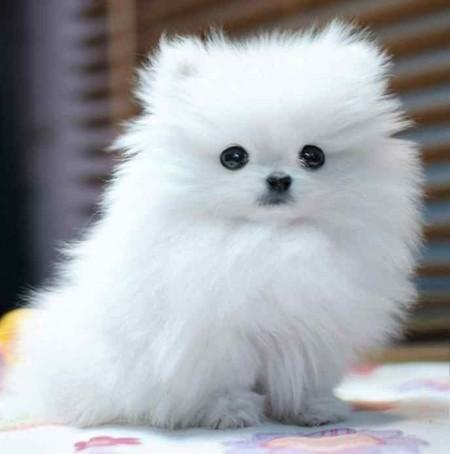 Tiny Dog Breeds Uk