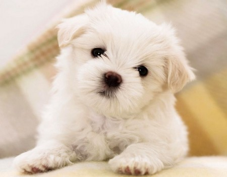 Tiny Dog Breeds With Pictures