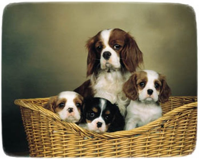 Too Cute Puppies King Charles