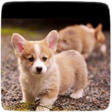Too Cute Puppies Pictures