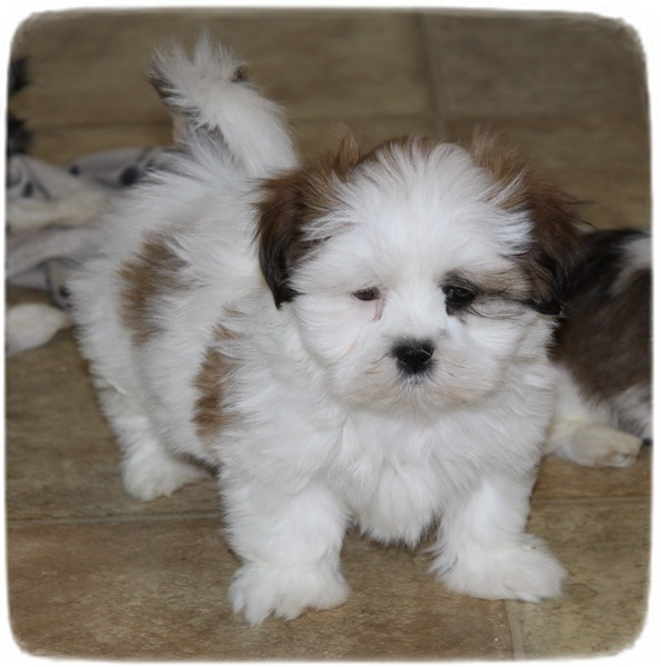 Too Cute Puppies Shih Tzu