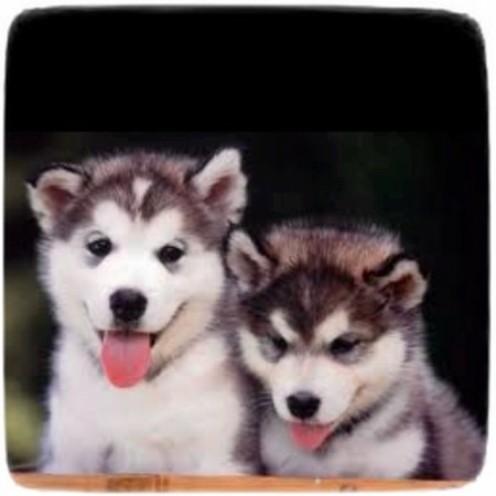 Too Cute Puppies Siberian Huskies