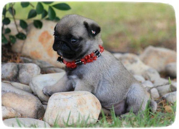 Too Cute Puppies Wallpaper