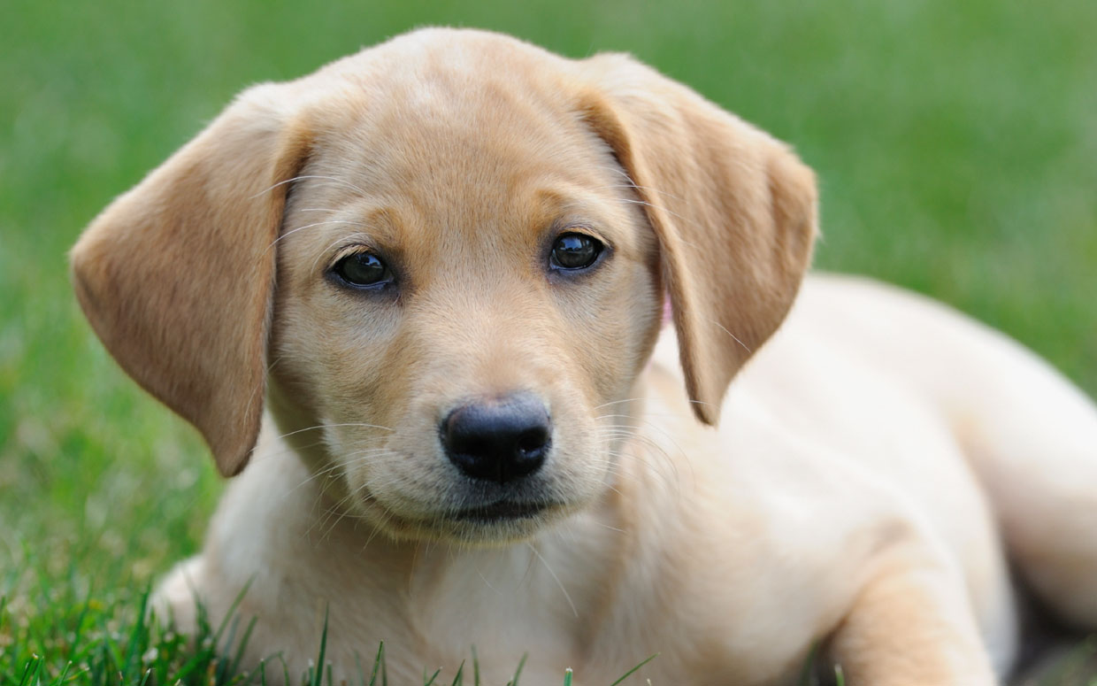 Top 10 Dog Breeds In America