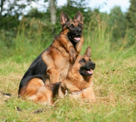 Top Dog Breeds For Families