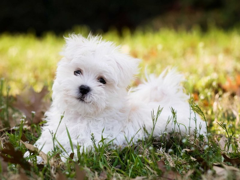 Top Dog Breeds In Us