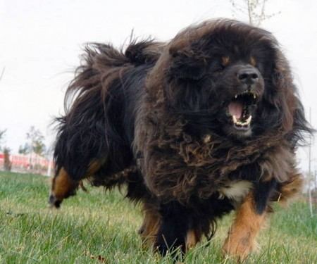 Top Ten Biggest Dog Breeds