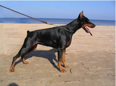 Top Ten Guard Dog Breeds