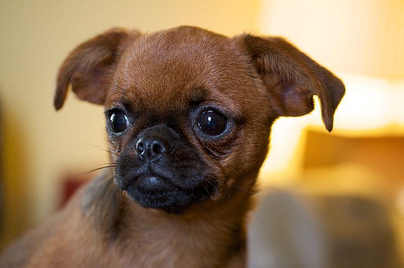 Toy Dog Breed List