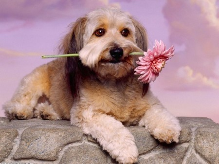 Toy Dog Breeds Images