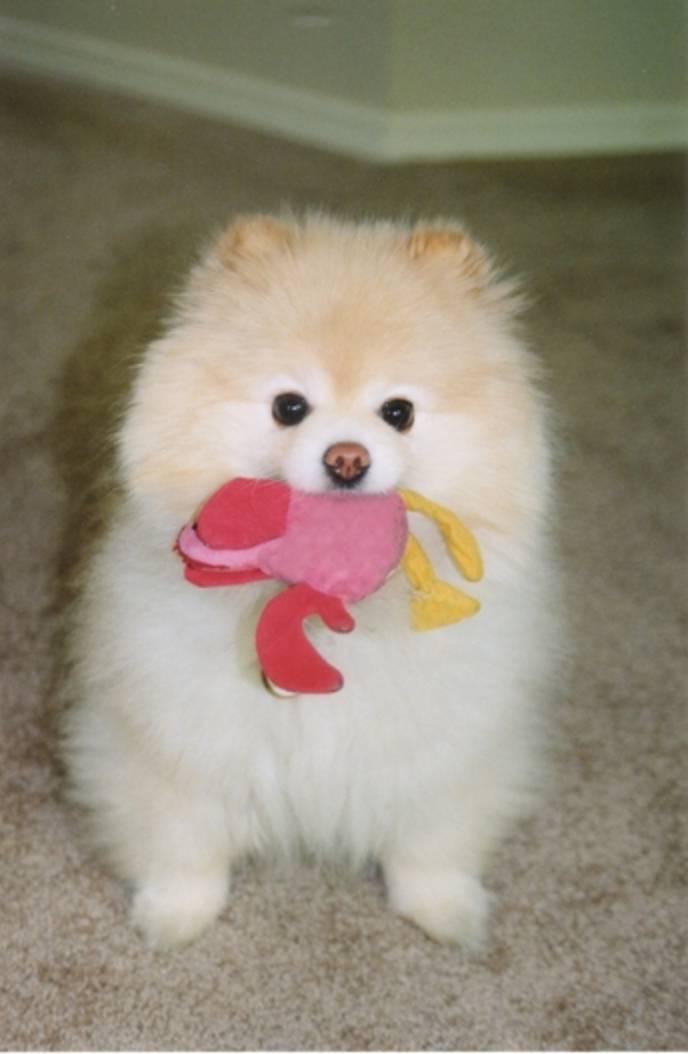 Toy Dog Breeds Uk