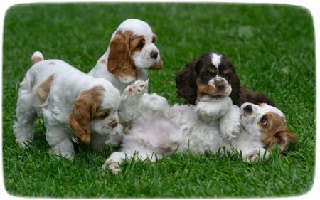 Tri Color English Cocker Spaniel Puppies