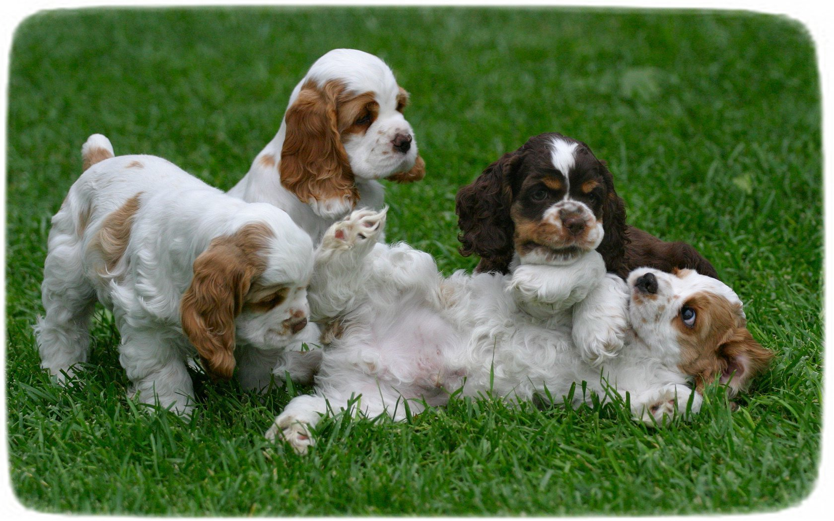 Tri Color English Cocker Spaniel Puppies