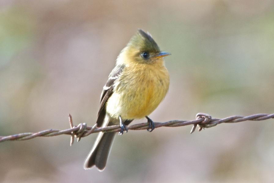 Tufted Birds Of North America