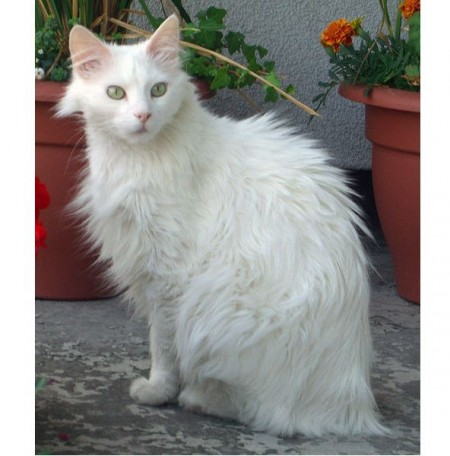 Types Of Cats In India
