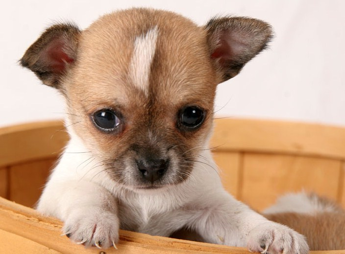 Types Of Small Dogs With Short Hair