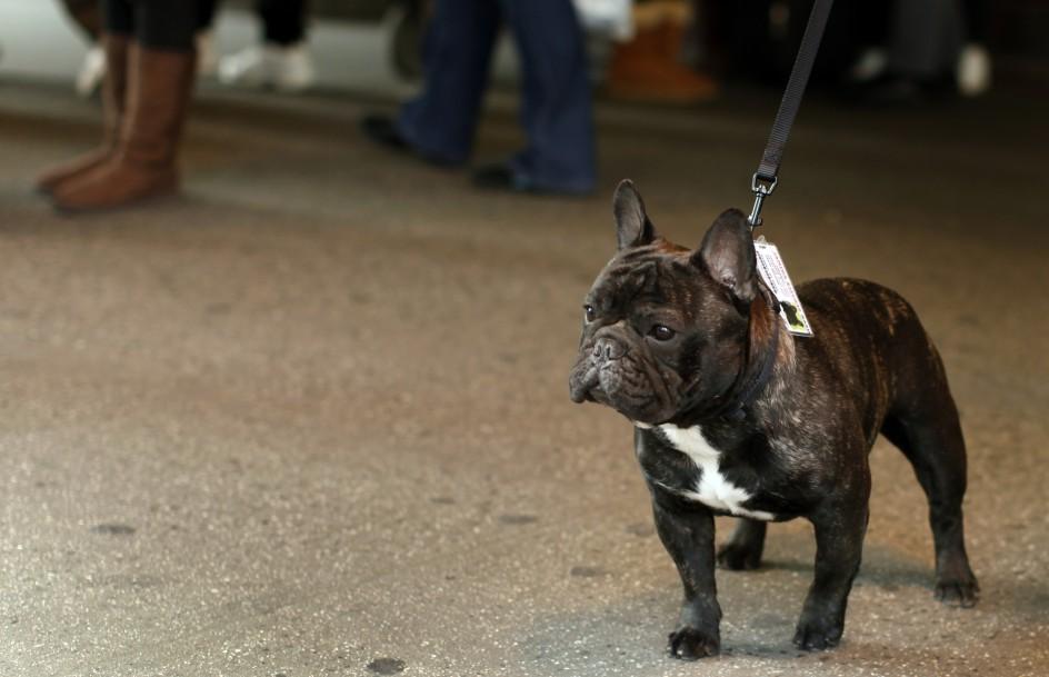 Westminster Dog Show Bulldog