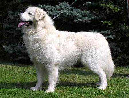 White Fluffy Dog Big