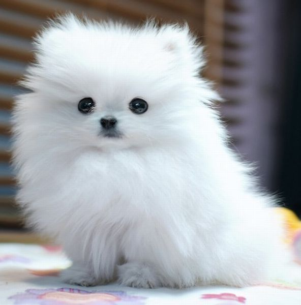 White Fluffy Dog Breeds