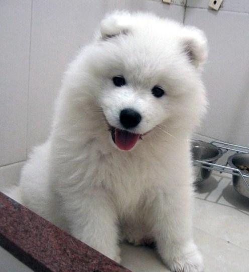 White Fluffy Dog Looks Like Polar Bear