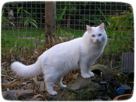 White Long Haired Cats