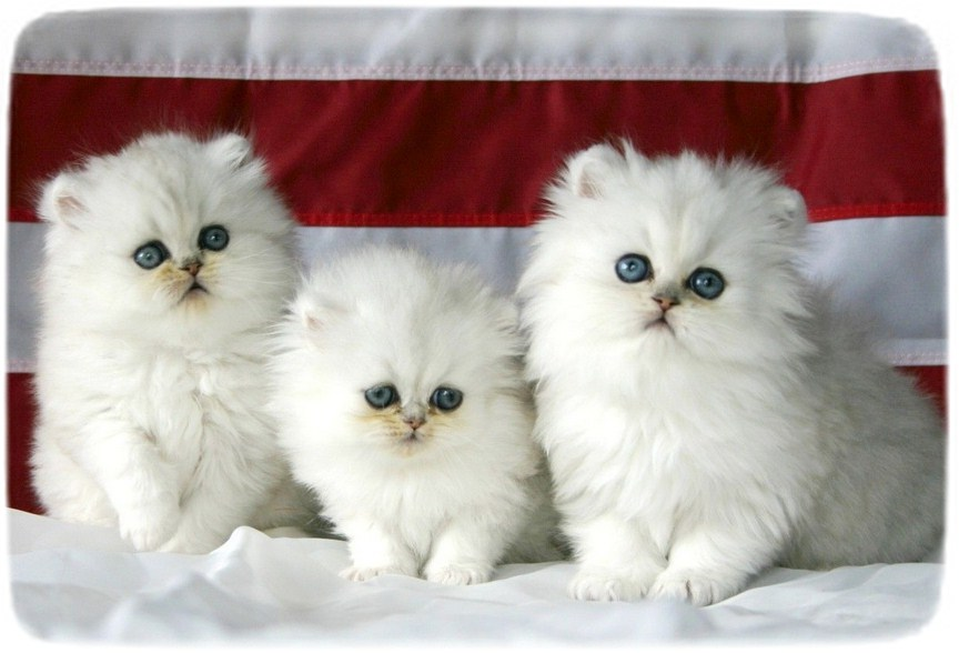 White Persian Cat Images