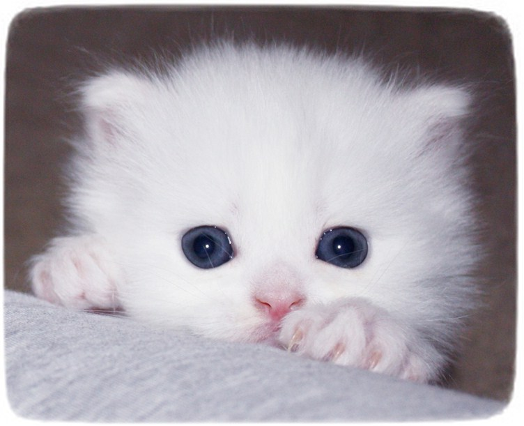 White Persian Cat Kitten