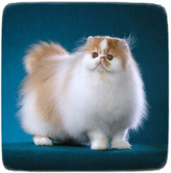 White Persian Cat Lion Cut