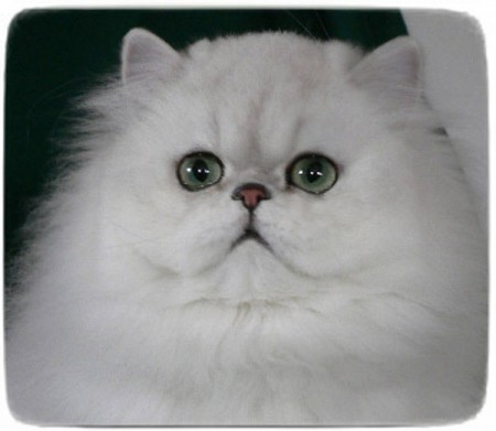 White Persian Cat Mercy