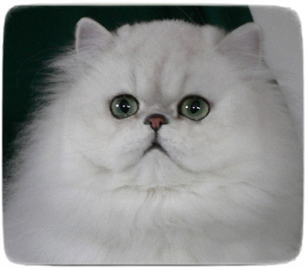 White Persian Cat Mercy