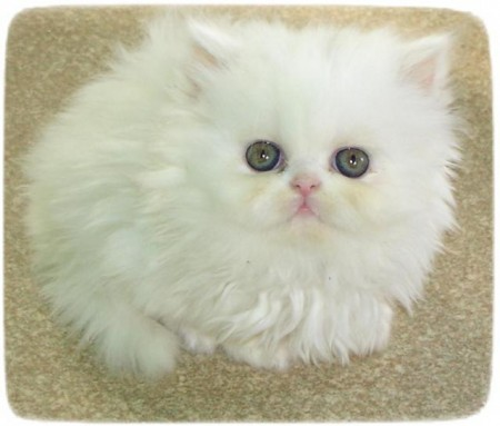 White Persian Cat Pictures