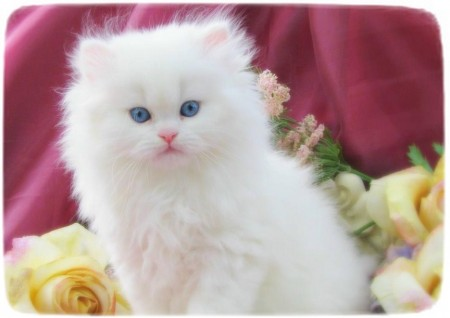 White Persian Cat With Blue Eyes
