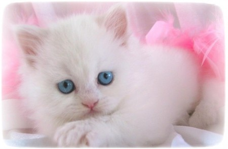 White Persian Cat With Blue Eyes Kitten
