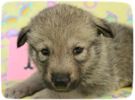 Wolf Hybrid Puppies In Missouri