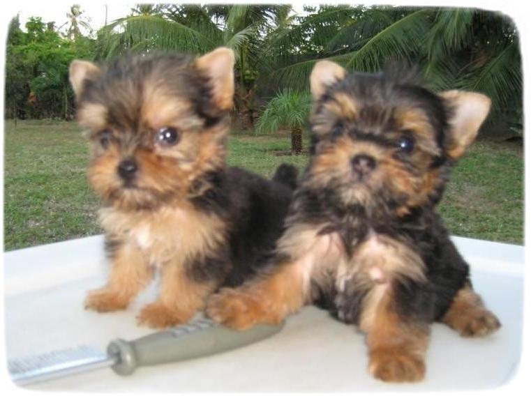Yorkshire Terrier Puppies Houston