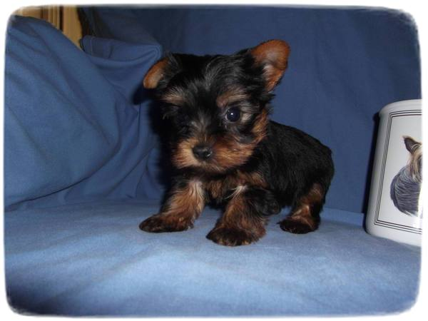 Yorkshire Terrier Puppies Newborn