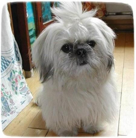 Yorkshire Terrier Puppies White