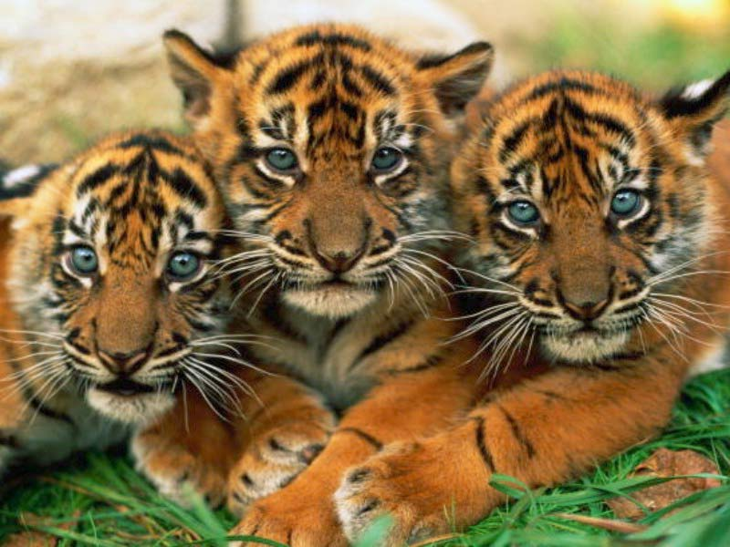 Adopt A Tiger As A Pet