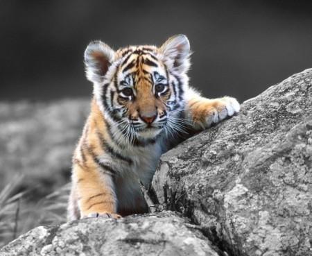 Adopt A Tiger Cub