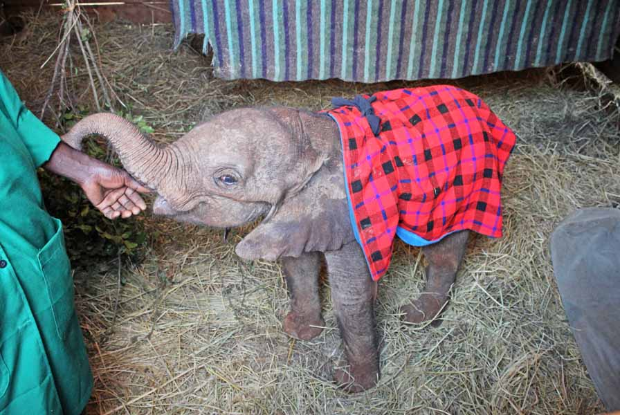 Adopt An Elephant David Sheldrick