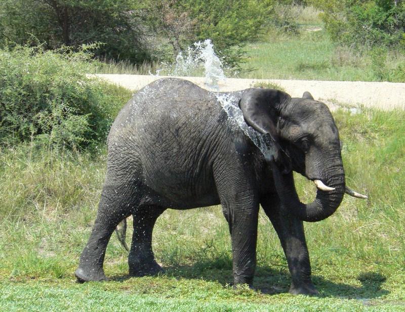 African Bush Elephant Baby