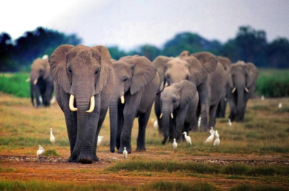 African Bush Elephant Habitat