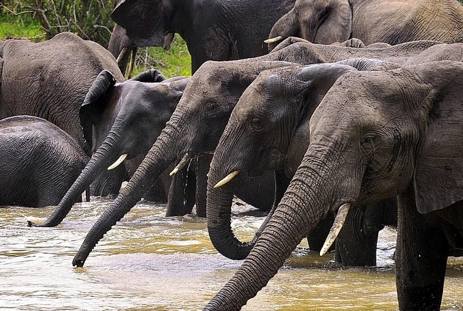 African Bush Elephant Population