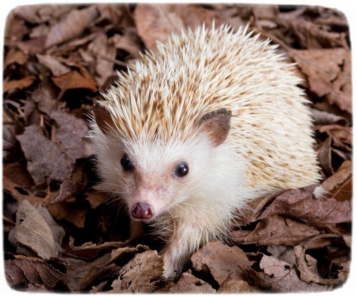 African Pygmy Hedgehog As Pets