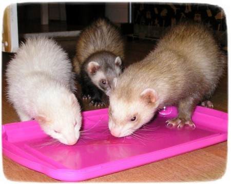 All About Ferrets As Pets