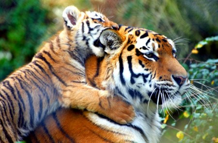 All About Tigers For Kids