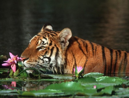 All About Tigers Habitat