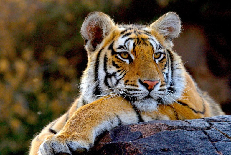 All About Tigers National Geographic